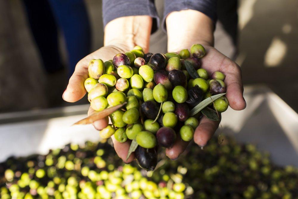 A Bago D'Uva 360º Portugal Tours vai levá-lo àregião do Douro em Dezembro e Janeiro para participar da colheita das azeitonas usadas para fazer azeite Douro DOC. Você vai provar o azeite e o famoso vinho do Porto.