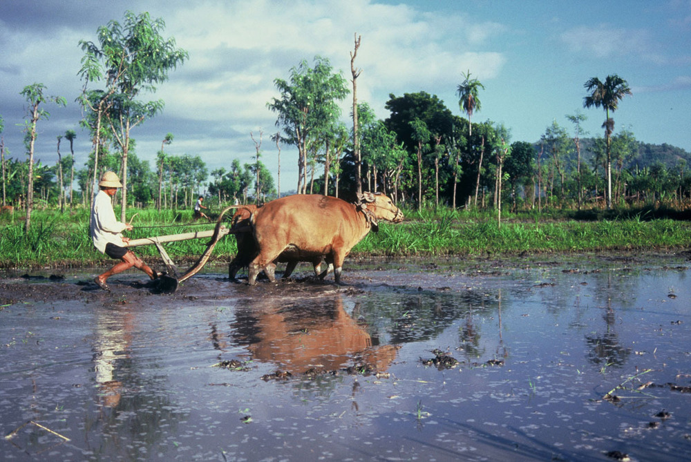 Ploughing rice fields near Bandung, Java, Indonesia