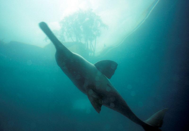 Ganges river dolphin (Platanista gangética)