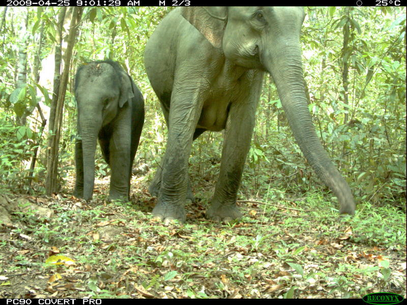 Asian elephant (Elephas maximus) mother and baby, taken by camera trap in Phnom Prich Wildlife Sanctuary at Eastern Plains Landscape, Mondulkiri province, Cambodia.
