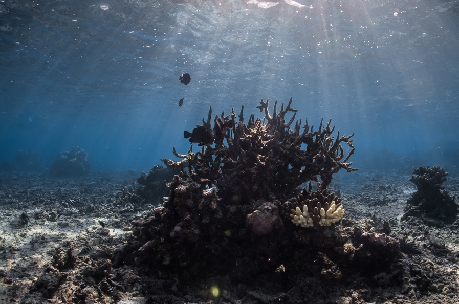 Corals provide underwater architecture for diverse and economically valuable reefs. Photo: Emily Darling