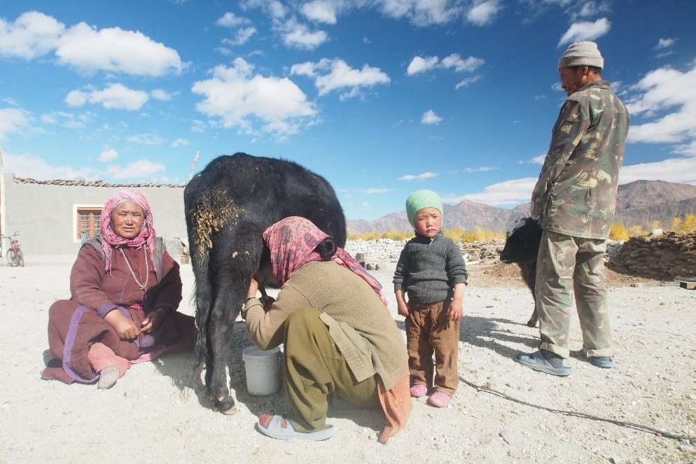 Ladakhis typically rely on yaks or dzos (cow-yak hybrids) for milk, as well as for their dung, which is dried and used as fuel for cooking and warmth. The exceptionally cold winter of 2013-2014, believed to have been driven by changes in the Indian Monsoon system, killed more than 40,000 of the region's livestock. © Wendy Foden