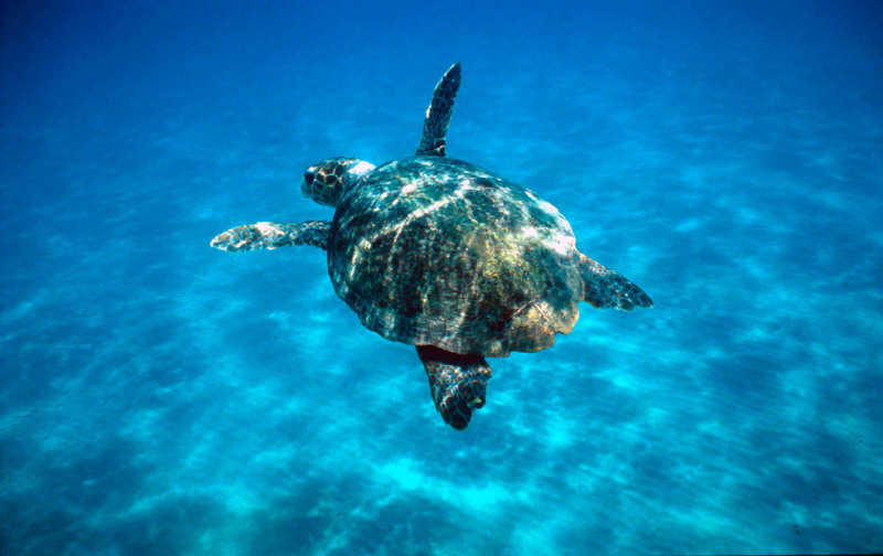 Loggerhead turtle (Caretta caretta) swimming in open sea. Zákinthos, Lagana Bay, Greece.