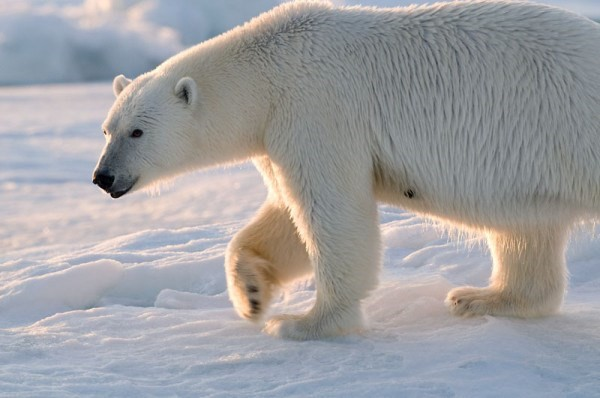 Polar bear walking on ice. © Steve Morello / WWF