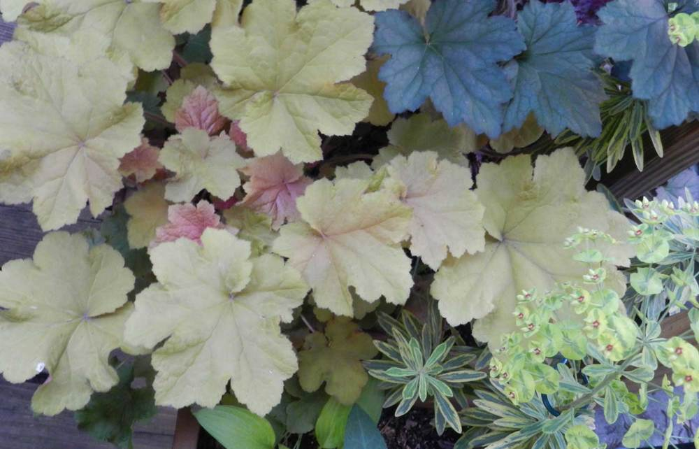 Ornamental Heuchera Varieties