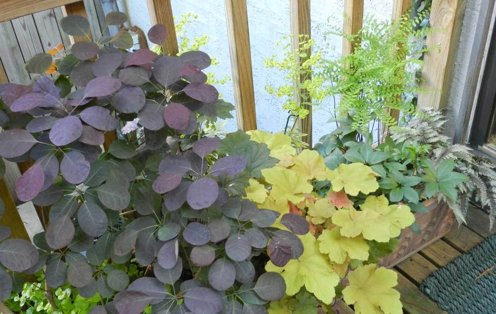 Smoke Bush with Heuchera