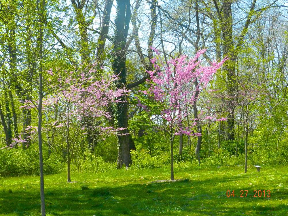Native Tree Specimen–Redbud