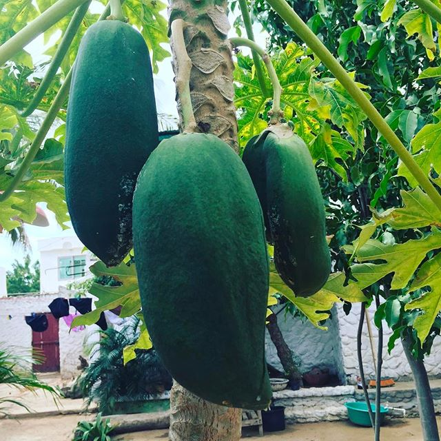 Papaya tree in an eco resort in northern Columbia.  Incredible fruit every day. #papaya #columbia