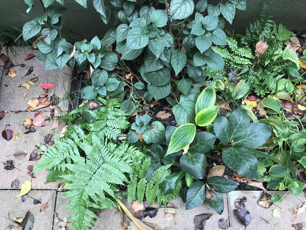 Hellebores, Ferns and Vines