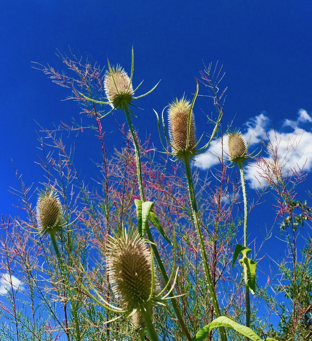 Teasel Plant on Roof Deck