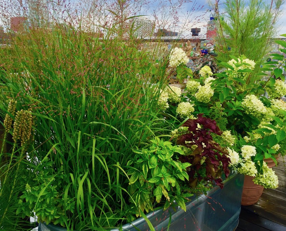 Perennials on Roof Deck in Watering Trough