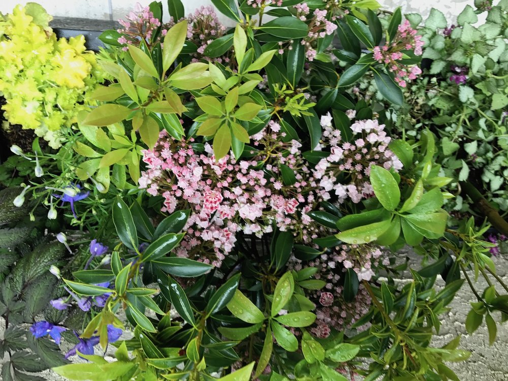 Kalmia in Bloom