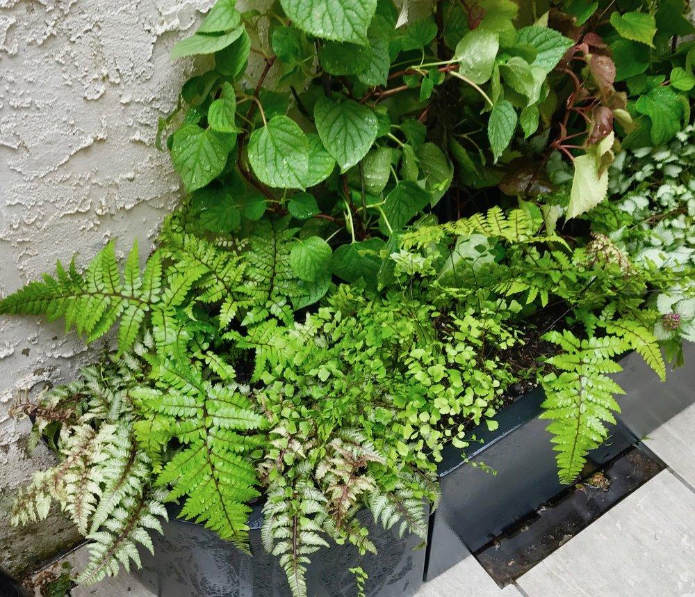 Ferns and Climbing Hydrangea