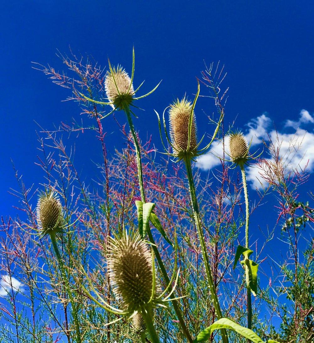 Teasel Plant
