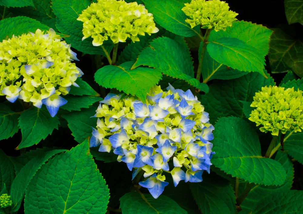 Hydrangea in Early Bloom
