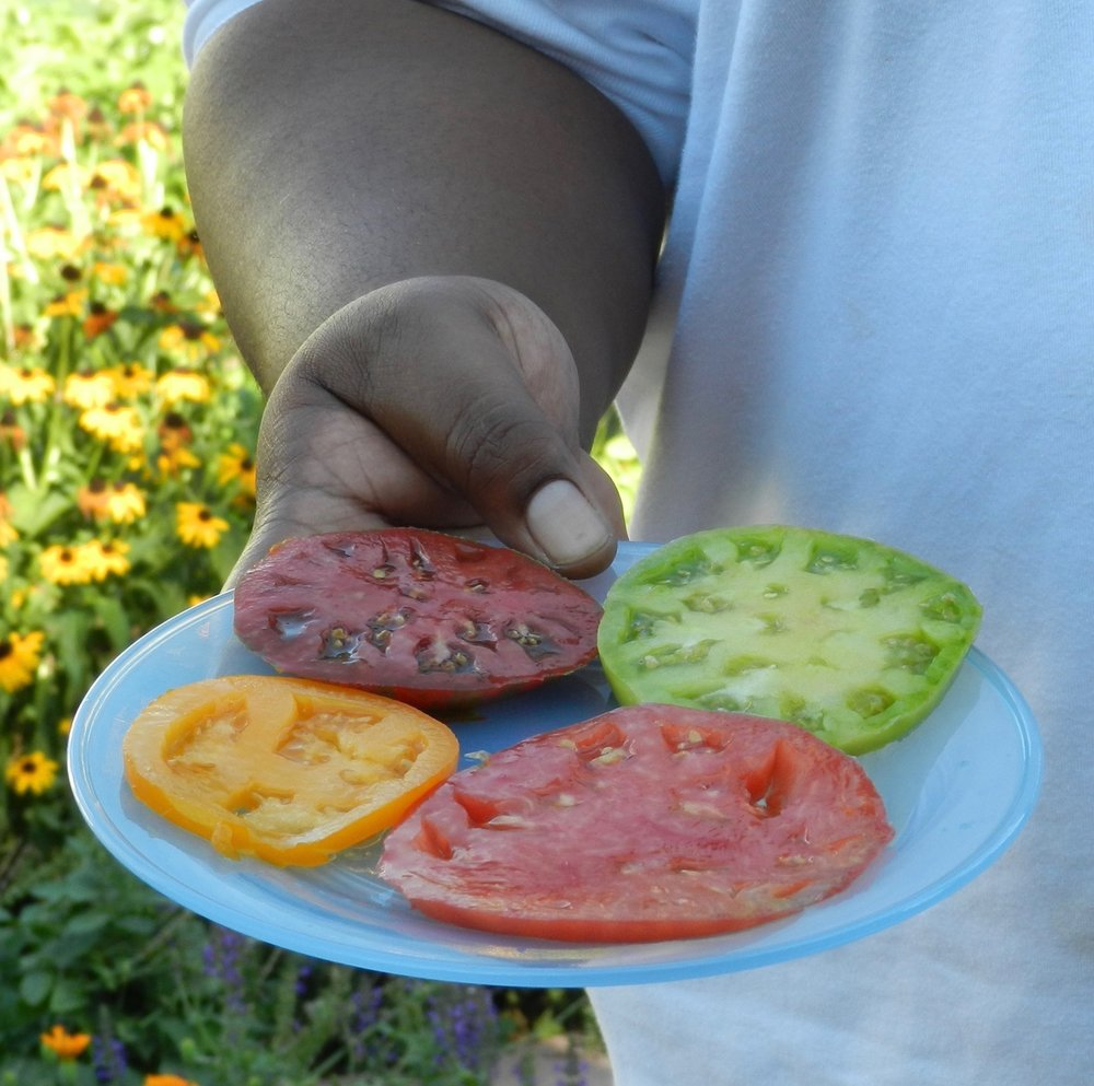 Tomato Tasting in Community Garden