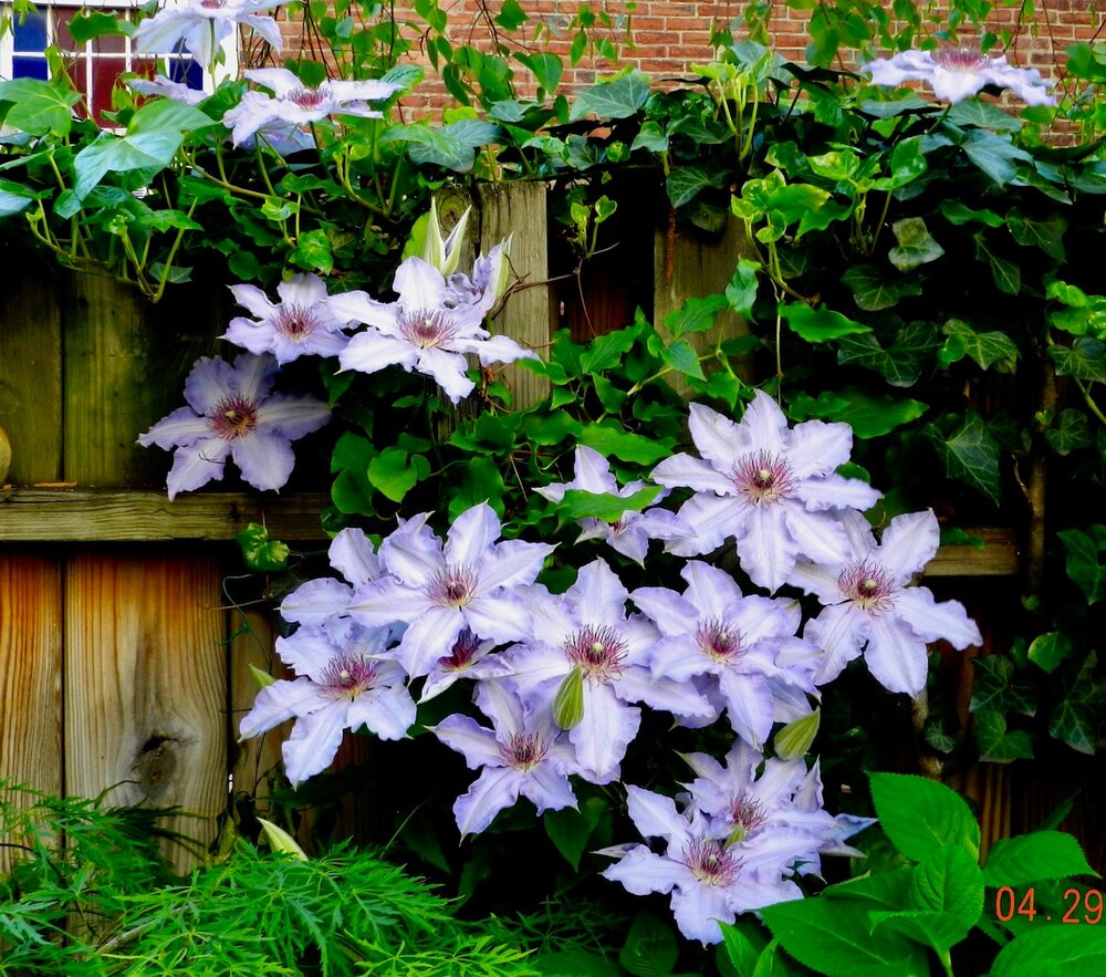 Clematis on Back Deck