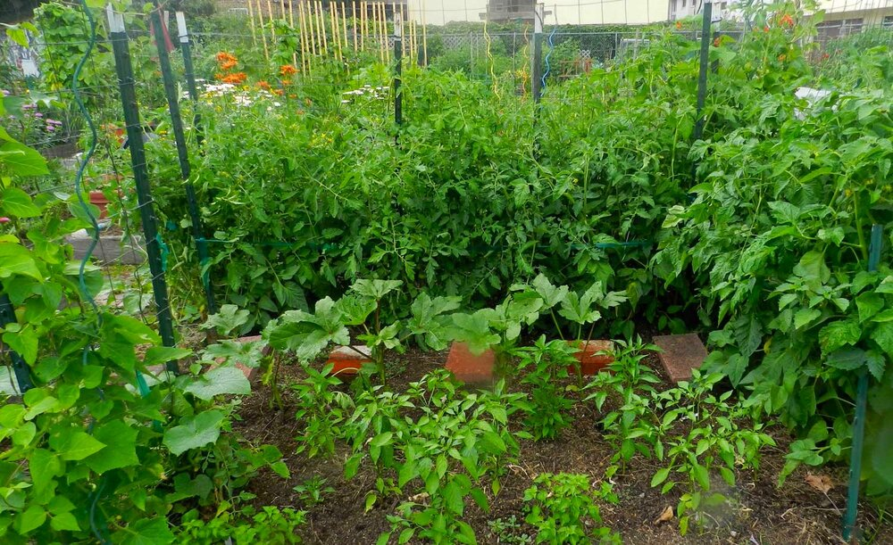 Pepper Plants and Tomatoes