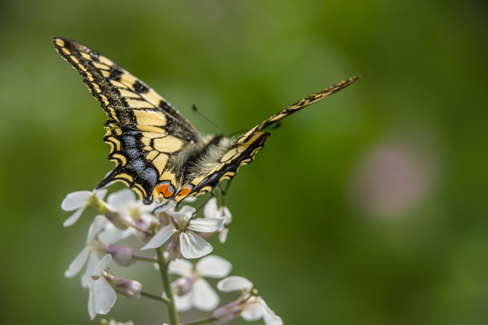 Chocks away! (swallowtail)