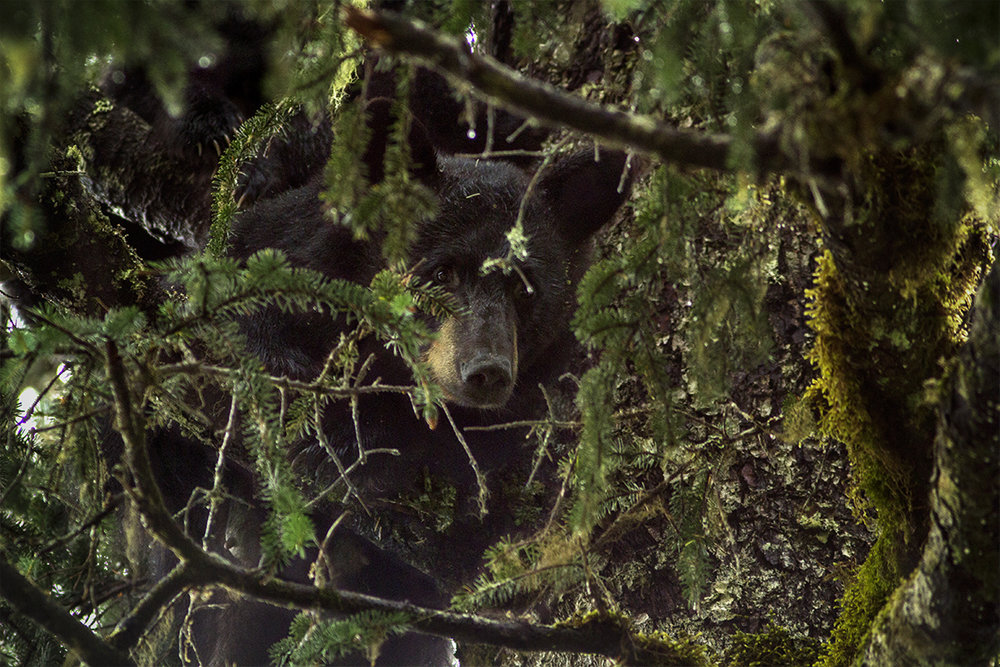 A mother black bear rests in a tree with her two cubs nearby. A black bear has excellent balance and will climb a tree for safety, to get to beehives, to survey the area, or to nap.