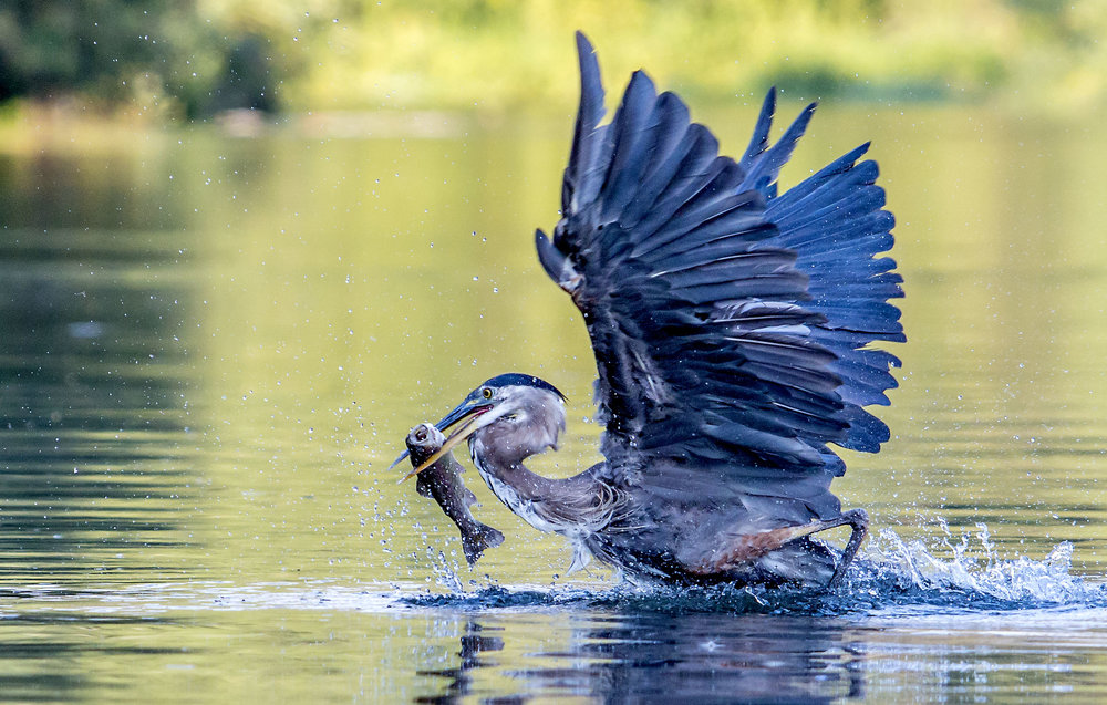 A great blue heron breaks the surface of the Willamette River near the Alton Baker Park duck ponds in Eugene. The usually still stalkers can be found along the banks of the Willamette, Amazon Creek, and Delta Ponds feeding on fish, amphibians, reptiles, invertebrates, small mammals and other birds.