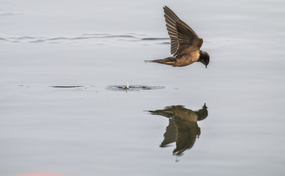 A barn swallow skims by the water of Dexter Lake as it attempts to snatch up a feather floating on the lakes surface. Barn swallows fly much lower then other species, coming within inches of ground or water to catch flying insects and then eat them in flight.
