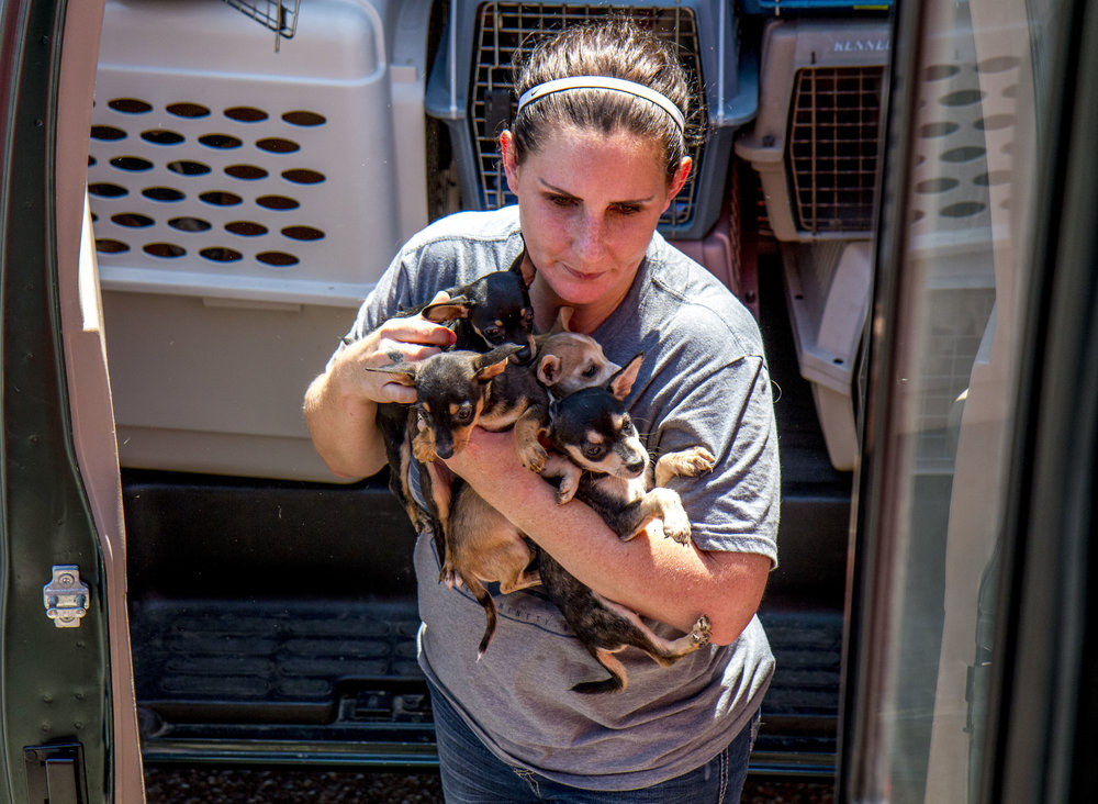 Ali Baas carries an armful of puppies into the Rescue Express bus. In cases of many small animals a single carriers will be filled with more than one to ensure as many animals can be transported as possible. (August Frank/The Register-Guard)