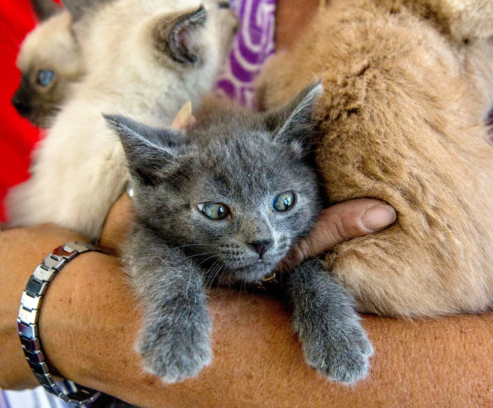 Debbie Newton carries an armful of kittens into the bus. The bus is set up so the animals can be watched and cared for throughout the trip, including being fed and given water too while the bus is still in motion. (August Frank/The Register-Guard)