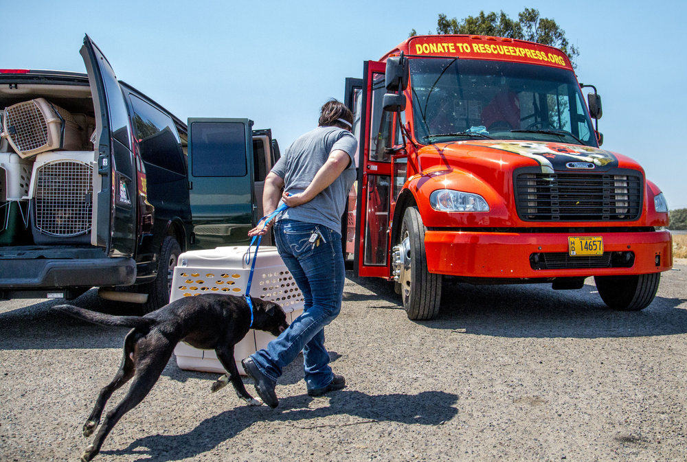 """Ali Baas leads a dog onto the bus in a location driver Phil Broussard describes as a """"dusty truck stop parking lot,"""" in Tulare, California. (August Frank/The Register-Guard)"""