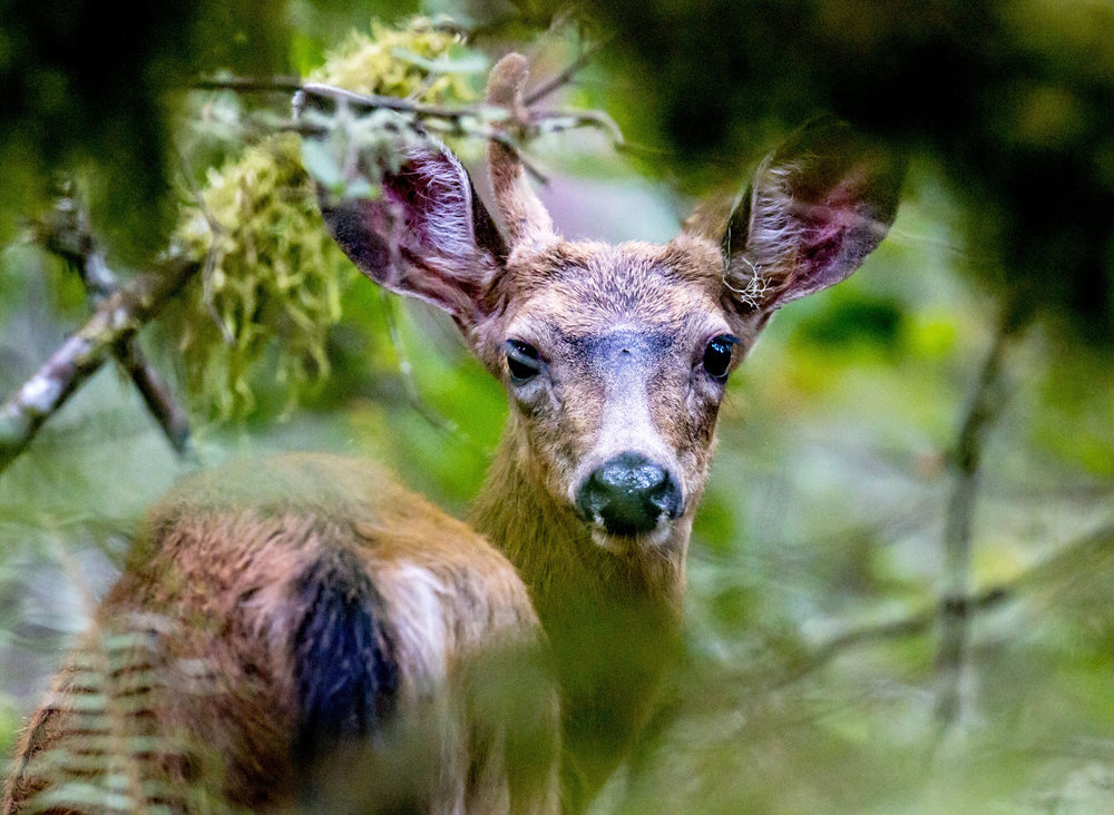 A deer peers through the leaves off of Willamette Street nearby the Spencer Butte trailhead in Eugene on Friday, September 8, 2017.
