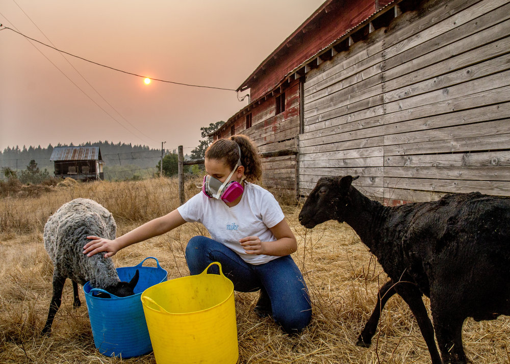 "Margaret Turner, 12, tends to her family's sheep on a day where smoke from wildfires made outdoor work in Eugene difficult. Margaret's sister, Eleanor, 8, said the smoke has left her with headaches, an upset stomach, clogged nose and burning eyes. While the family purchased respirators to ensure they breathe in as little smoke as possible, they have been left wondering what affect the smoke is having on their animals. ""I feel bad for animals, they're sort of stiff, not doing a lot,"" Eleanor said."