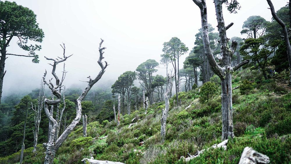 Tajumulco dead trees