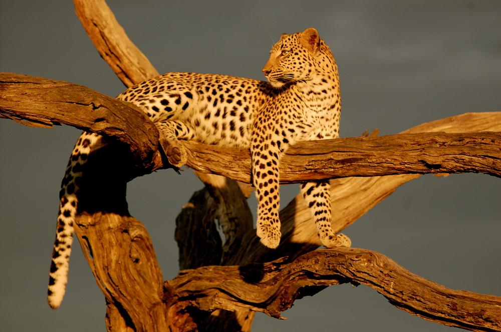 !Leopard.jpg