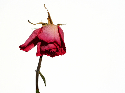 Wilting-Rose.jpg