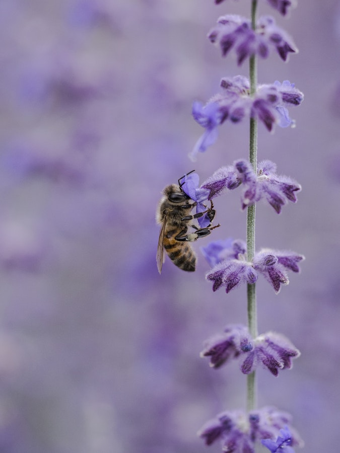 unsplash bee on lavender.jpg