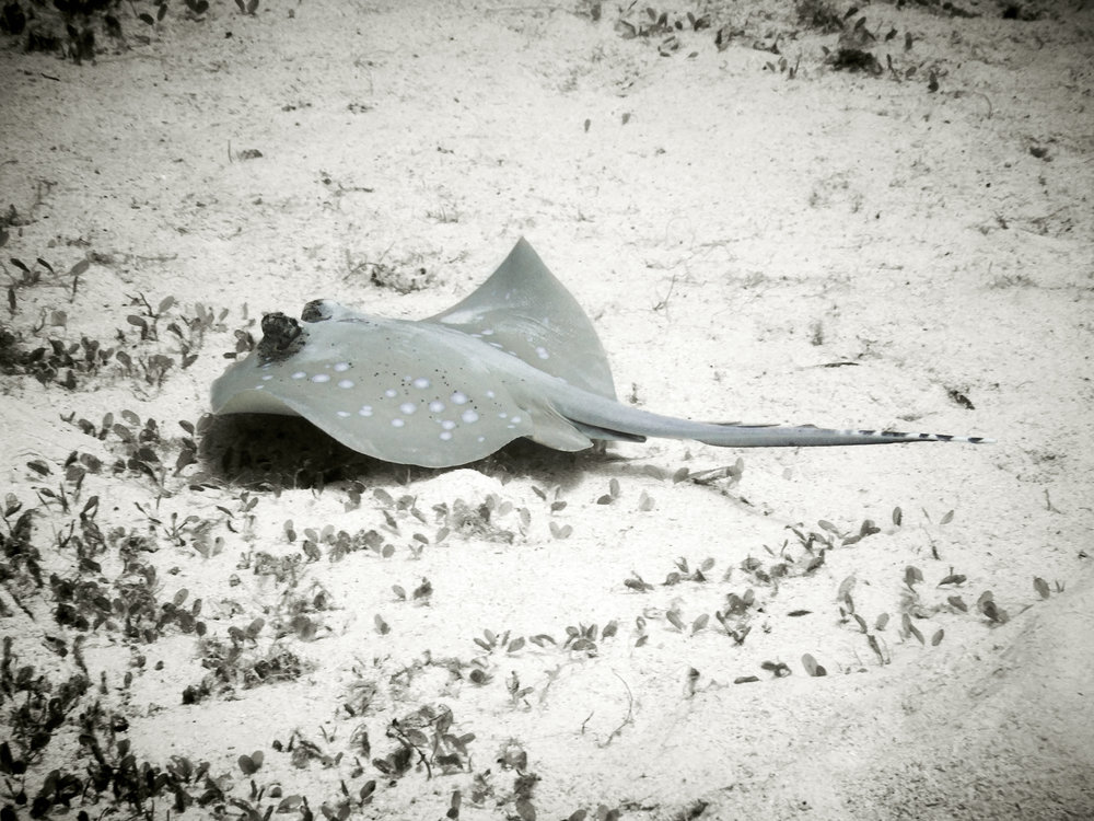 Blue Spotted Stingray at Siaba Besar, Komodo National Park, Indonesia