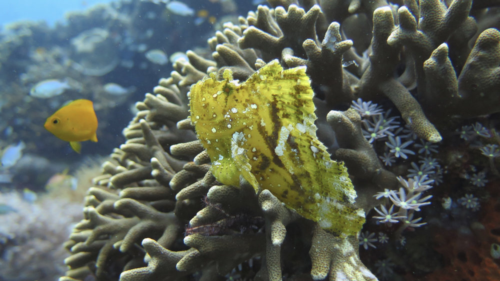 Leaf ScorpionFish (same one as above but different angle) Siaba Besar, Komodo National Park, Indonesia
