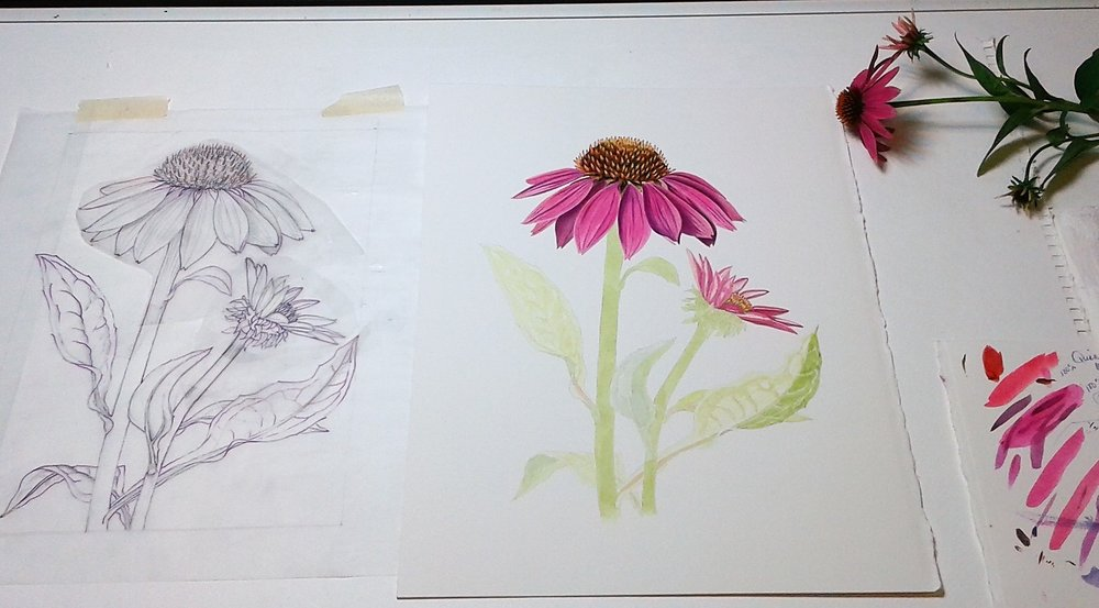 Drawing Process Coneflower  by LChandler.jpg