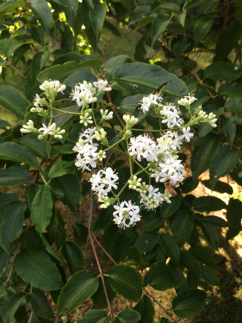 Heptacodium miconioides (tall shrub)