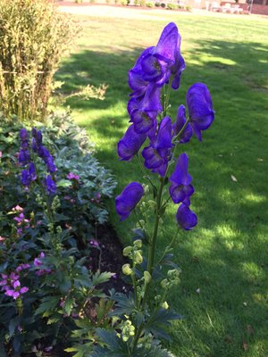 Aconitum napellus (monkshood)