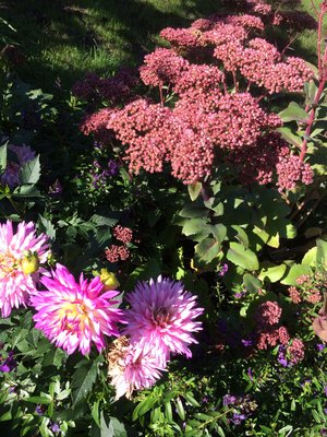 Dahlia and Sedum 'Black Jack'