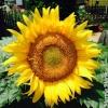 maasthead sunflower.jpg