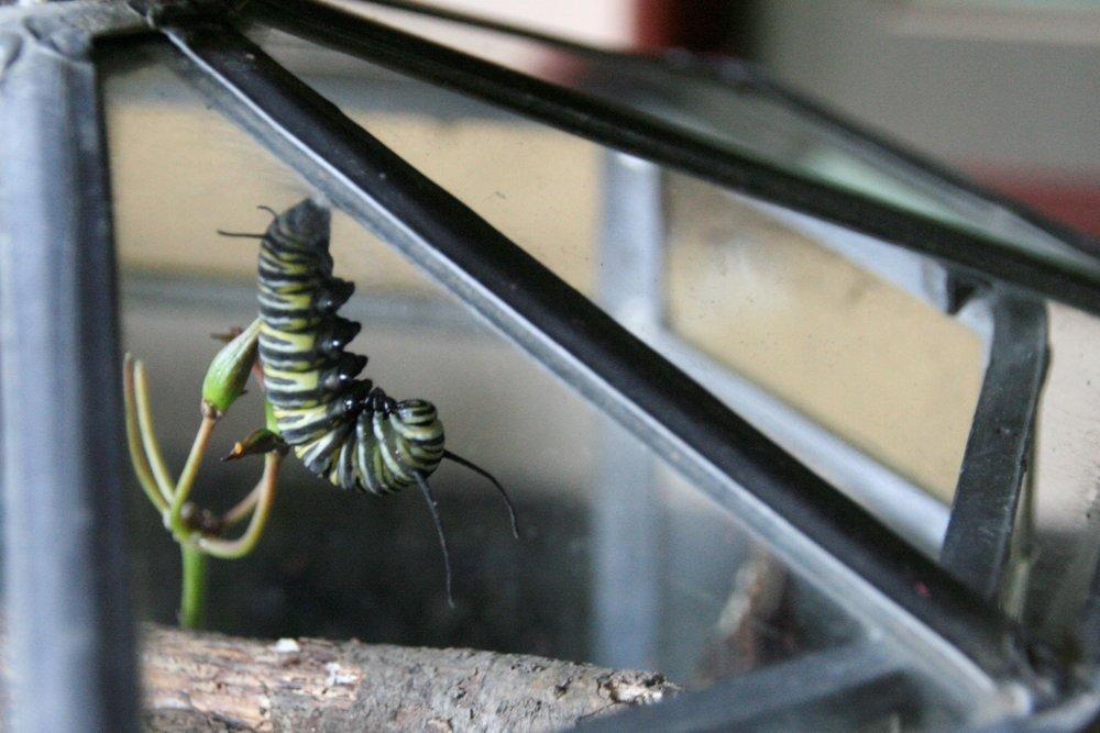 Caterpillar forming a J