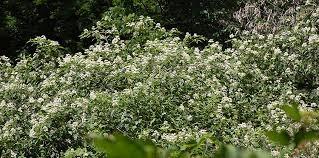 Cornus stolonifera in bloom in spring