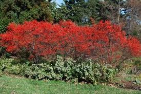 Ilex verticillata in berry, late fall