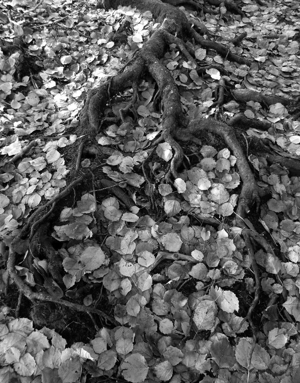 Roots - Judith McMillan.jpg