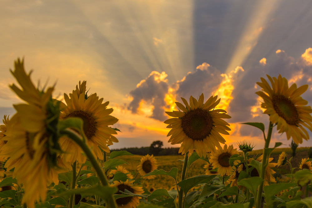 Sunset_Sunflower.jpg