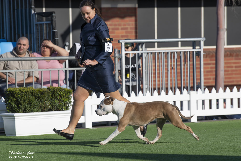 melbourne_royal_amstaff_spec_18-266.jpg