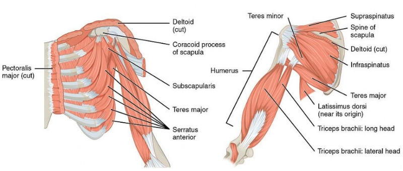 shoulderMuscles.jpg