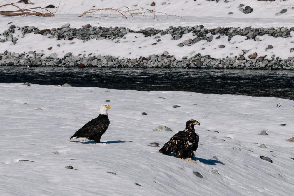"""Un giovane esemplare di """"Bald Eagle"""" accompagnato da un adulto (a sinistra)"""